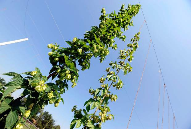 A pair of hops vine stretch upward at a small field on Tuesday west of Lucerne. As the growing season comes to a close hops are among the crops being harvested.
