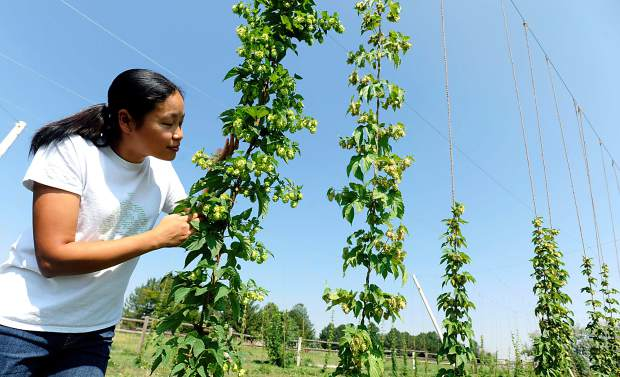 Hanmei Hoffman stops to smell the hops in her small hops field behind her home on Tuesday west of Lucerne off of Colo. 392. The Hoffman family had a much larger crop of hops than they had expected this year.