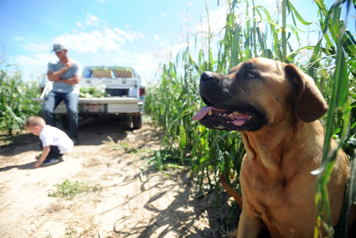 One of the Leffer dogs, Izzy, sits among the corn stalks waiting for the family to finish collecting fresh ears for the stand on Monday at the one of the Leffler fields west of Eaton.