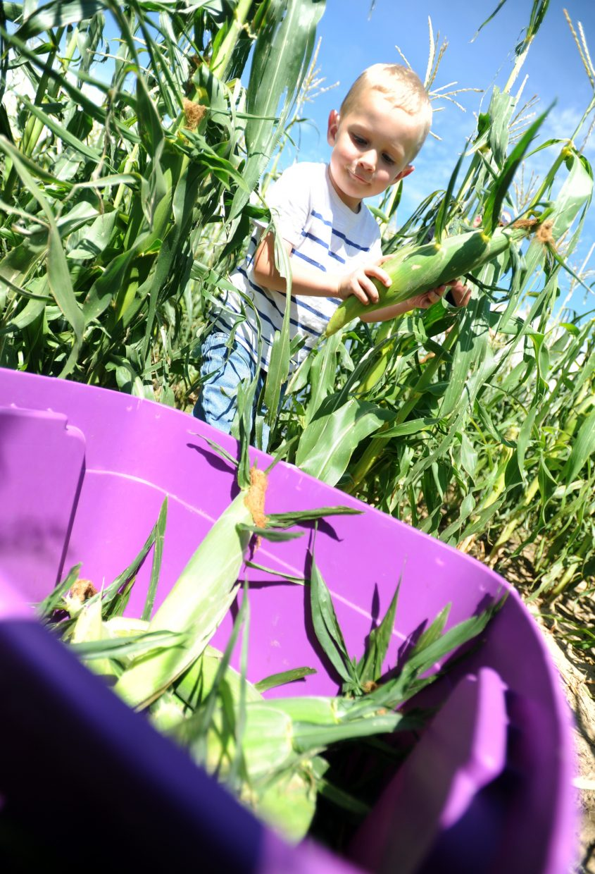 Colton Leffler, 4, helps gather sweet corn out of the field on Monday at one of the Leffler's fields west of Eaton. The Leffler family opened their sweet corn stand with the hopes of their children taking the small business over.