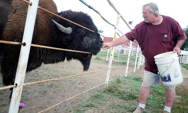 David Hayes leans in to give a treat to one of the bison at his ranch on Monday outside Milliken. Hayes has been working with bison for 40 years.