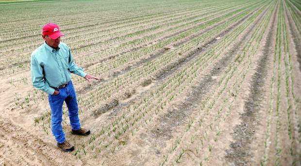 Lynn Fagerberg stands at one of his onion fields that uses the drip irrigation system last week outside Eaton. Since the system is subsurface no signs of irrigation show above the ground however to ensure nothing is damaged during planting process tractors use GPS to safely guide them around the subsurface system.