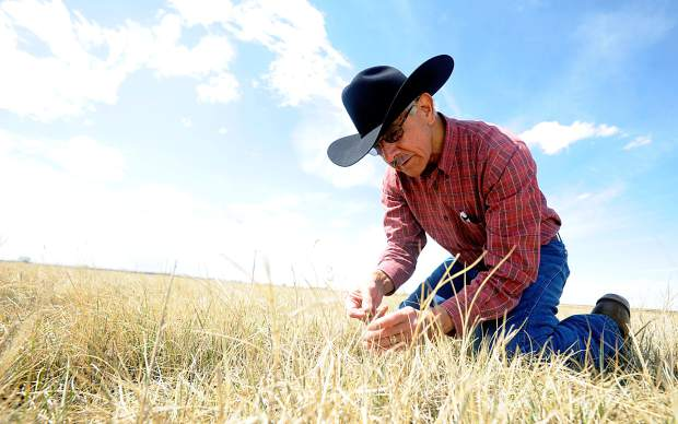 Don Hijar plucks a small blade of grass as he examines a field on Tuesday outside Kersey. According to Hijar, using a variety of grasses to revegetate helps protect the soil from wind and water erosion while also keeping the field's need for water to a minimum.