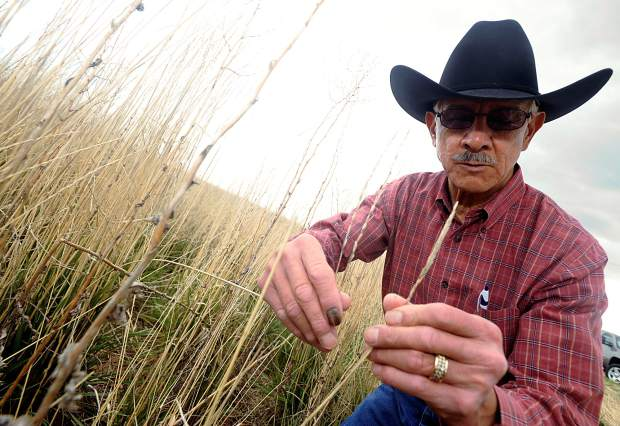 Don Hijar shows off two types of wheat grass that comprised a field east of Greeley. The mixture of grasses is being used for its drought tolerance and grazing qualities. That field was also being cut for hay since the grasses have high nutritional value.