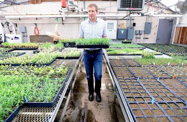 Todd Gaines a assistant professor with Colorado State University walks with a small pallet of sample kochia weeds that are being tested at the CSU greenhouses on Tuesday in Fort Collins. The greenhouse is growing several weeds common in the United States.