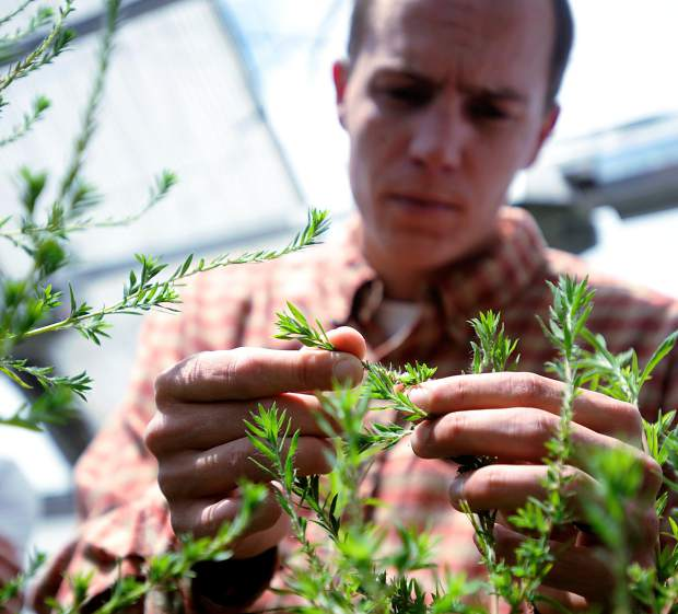 Eric Westra a researcher for Colorado State University and Ph.D candidate holds one of kochia weeds at the CSU greenhouses in Fort Collins.
