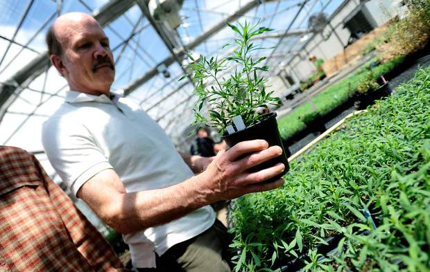 Scott Nissen a professor at Colorado State University holds one of the kochia weeds on Tuesday at the CSU greenhouses in Fort Collins. The weeds are apart of on going research into weeds with herbicide resistance.