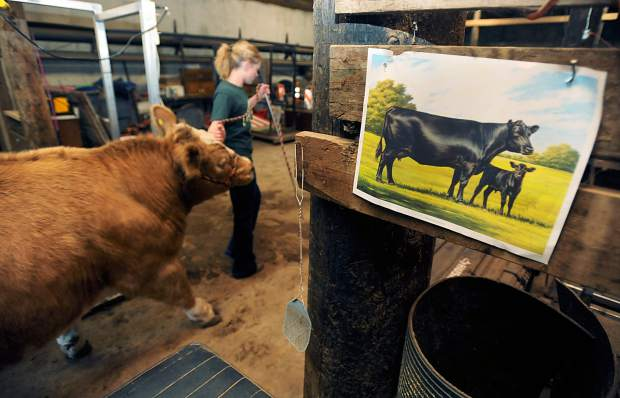 Molly Cooksey, 18, passes by a print of a calf and cow as she leads one of her show cattle back to barn in May at her family's ranch outside Roggen.