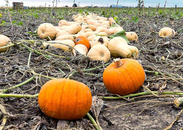 Butternut Squash and Pie Pumpkins are just two of the vegetables grown and Certified as USDA Organic by Schnorr Farms of Fort Collins, Colo.