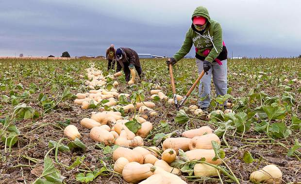 There are some crops that just cannot be harvested by machines. Vegetables can be bruised by machinery and these Butternut Squash grow randomly on ground vines. They are cut from the vine and placed where packing crews can finish the harvest.