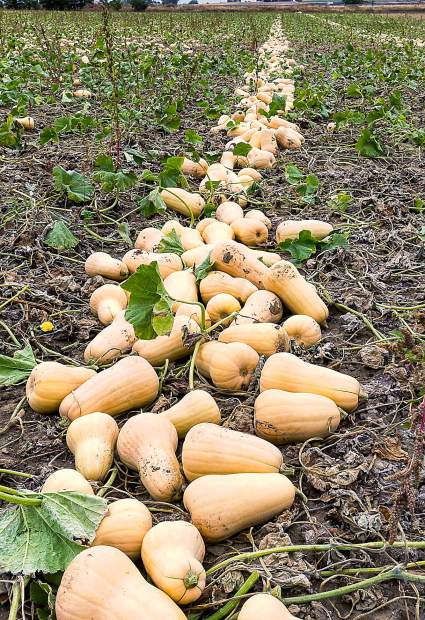 Butternut Squash grow randomly on ground vines. During harvest, they are cut from the vine and placed where packing crews can grade them to size, attach the USDA Certified Organic stickers, and pack them for shipment to local supermarkets.