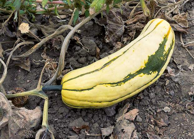 The Delicata Squash resembles a giant, fat cucumber and has pale yellow skin and dark green stripes. This heirloom variety has fine, creamy flesh, which tastes similar to sweet potatoes and butternut squash.