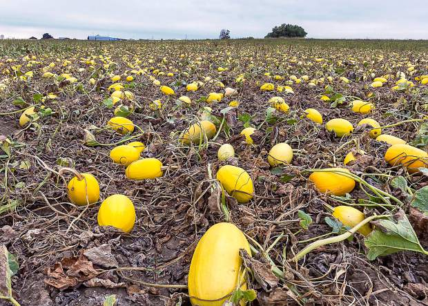This field of beautiful Spaghetti Squash is ready to be harvested and sent to local Colorado supermarkets by Schnorr Farms. These squash and the field have gone through an exhaustive process of inspections to be Certified Organic by the United States Department of Agriculture.