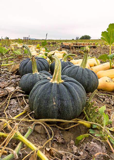 Hand harvested, Certified USDA Organic Green Acorn Squash grown by Schnorr Farms of Fort Collins, Colo. Only Certified Organic produce is regulated, monitored, and inspected according to strict USDA standards.