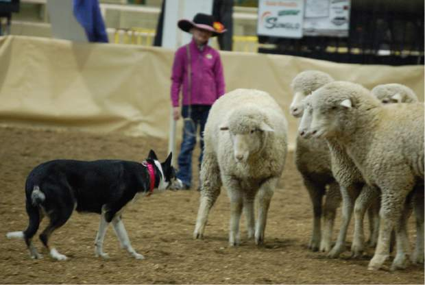 Annie, a five-year-old border collie, herds sheep while her owner, 7-year-old Penny Myer of Pashall, Colo., calls instructions to her in the stock dog trials Sunday at the National Western Stock Show in Denver.