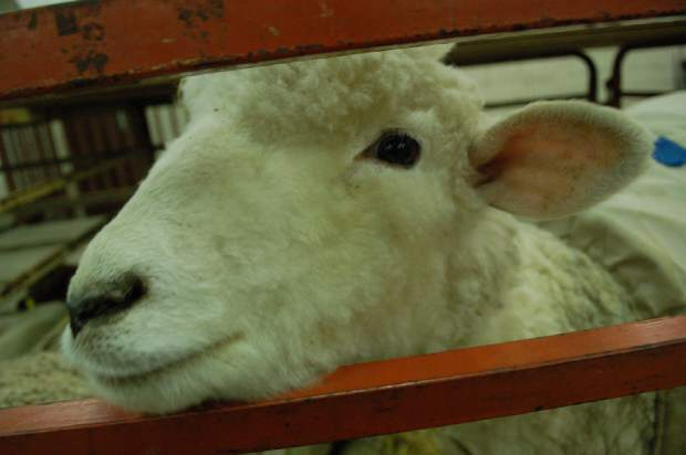 One of the sheep from Thornburgh Valley Station of Hamilton, Colo., peeks out from behind its pen at the National Western Stock Show Sunday in Denver.