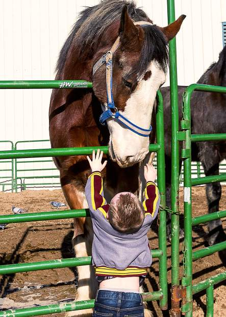 Five year old Mike Hogan from Denver, Colorado, stretches as high as he can to reach the massive draft horse that is bending down towards him at the National Western Stock Show.