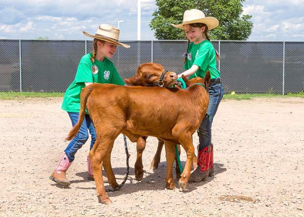 Even though these Red Dexter calves are gentle by nature and are broke to a halter, handling something that outweighs you by more than 100 pounds can be difficult for 9-year-old Audrey (left) and 7-year-old Jessica Laffey.