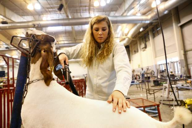 Faith Fetzer, 16, preps a goat for the medium-weight show Wednesday at Island Grove Event Center, 501 14th Ave., in Greeley.