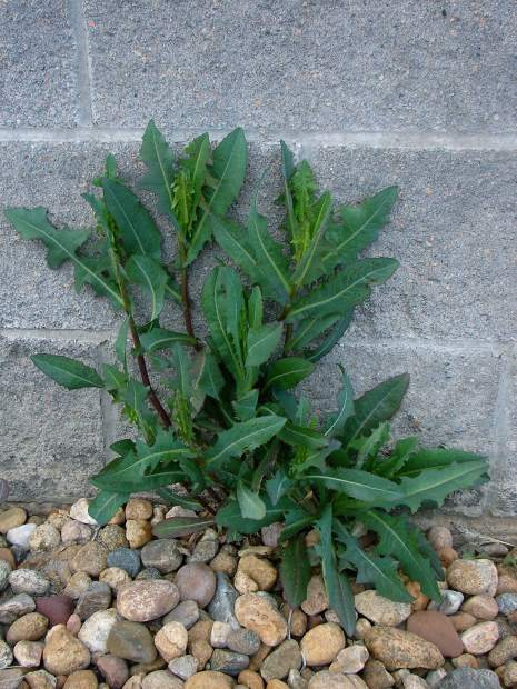 Weed Spotlight: Prickly lettuce   TheFencePost.com
