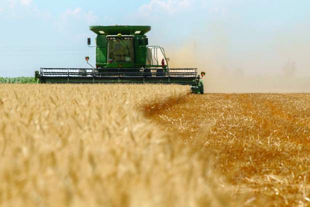 Conor Waldron harvests wheat last month at a field of Arnusch Farms in Keenesburg. It takes Waldron and the team about five hours to harvest the 65-acre field.