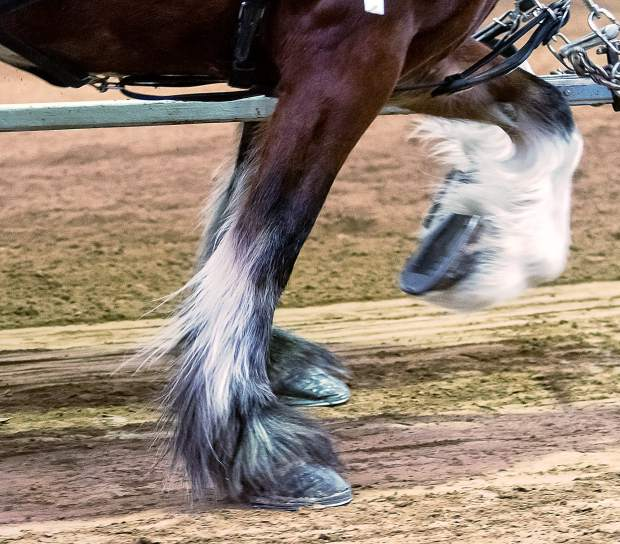 These Clydesdales are working in perfect unison and will score very high with the Judges at the Big Thunder Draft Horse Show. The