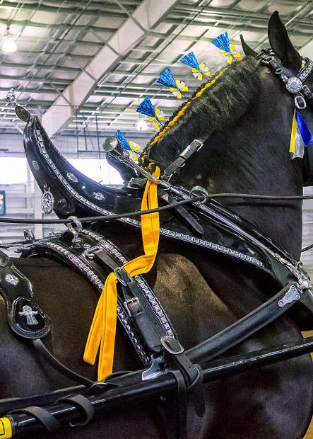 Meticulous detailing and well-polished tack are an important part of what the judge was looking for at the 12th annual Big Thunder Draft Horse Show held at The Ranch in Loveland, Colorado.