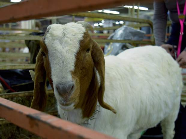 A Boer goat waits Wednesday in one of the holding pens before the Junior Market Goat show at the National Western Stock Show in Denver.