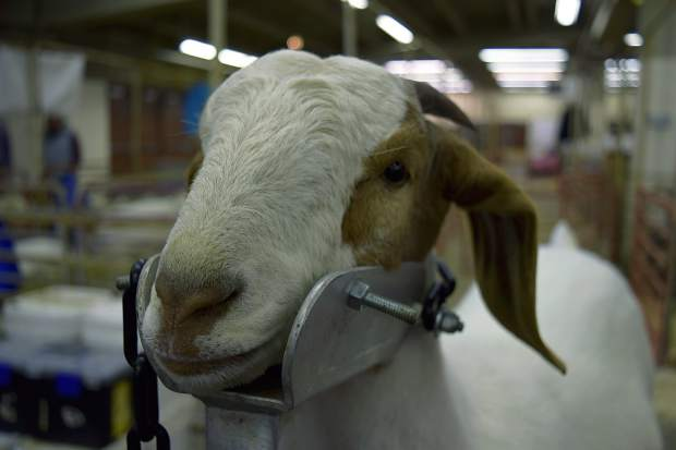 A Boer goat gets a final grooming before the Youth Goat Market show at National Western Stock Show on Wednesday.