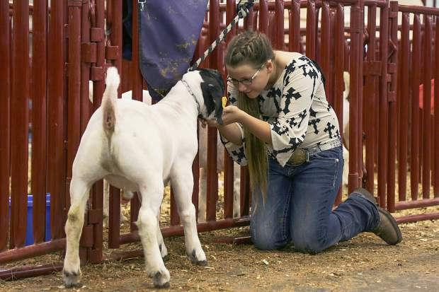 Jacey Bernhardt, 11, tends to her goat, Milky Way, at the Junior Livestock Sale in Greeley on Monday, Aug. 3, 2015.