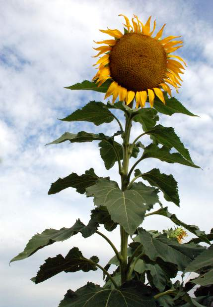 Sunflowers thrive in Colorado, due to the altitude and cool nights, said Leon Zimbelman, a third generation farmer who has been growing sunflowers for more than 20 years. Since sunflowers have deep roots, they can often live off less water than other crops.