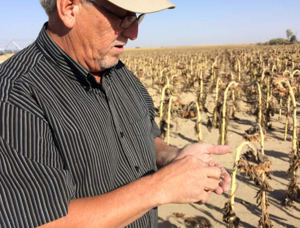 Leon Zimbelman, sunflower grower consultant for Red River Commodities, plucks a couple seeds from a sunflower in the plot next to his office in Keenesburg. Zimbelman grows about 80 acres there, offers resources to other sunflower growers and provides a drop-off point for their seeds after harvest.