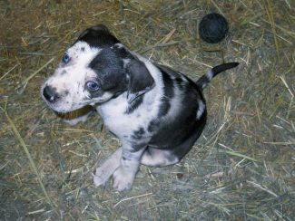 Catahoula Leopard Dog: Not your average stock dog