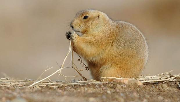 Prairie Dogs Are A Nuisance For Most Farmers And Ranchers