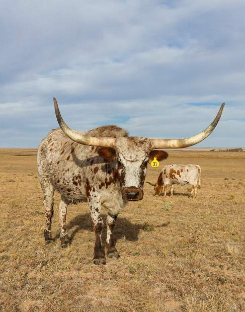 A gentle disposition, varied color, and, of course, the horns, makes the purebred Texas Longhorn a real favorite with hobbyists.