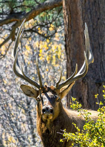 Even though the elk have become acclimated to the presence of humans, they are still wild animals. Every year people are seriously injured by getting too close to an elk – enjoy the spectacle and do not become a statistic.