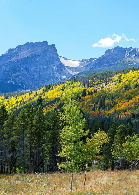 The aspen quickly grows in areas where other vegetation was lost because of fire, or disease. This is why you will see patches of color on mountain sides in the fall.