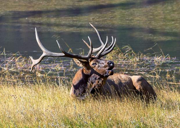 One of the best places to see elk is at Sheep Lakes which is a short distance from the Fall River entrance to Rocky Mountain National Park on Highway 34.
