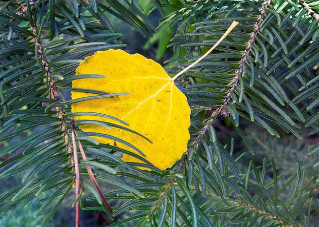 Flat leaves attach to branches with lengthy stalks, and the slightest breeze causes the leaves to tremble with a rustling sound.
