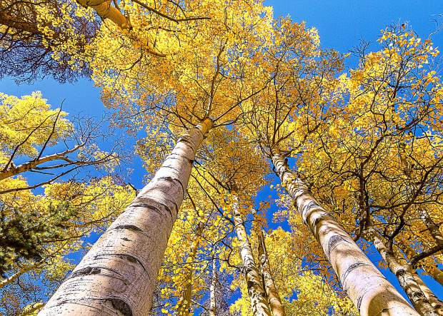 The aspen is a fast growing tree which reproduces not only by seed, but also by extensive suckering. An aspen grove starts as suckers shoot off the roots of a mother tree, which arrived at the site by seed.