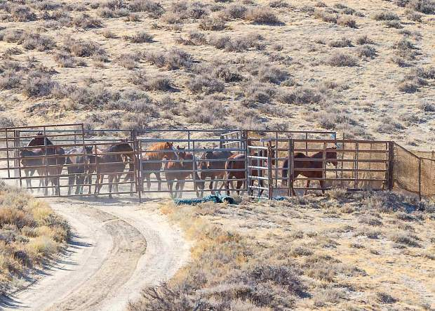 The two horses going through the gate on the right are the domestic pilot and Judas horses that lead the wild horses through the wings and into the pens. They are trained to return to their positions once the wild horses are in the pen.