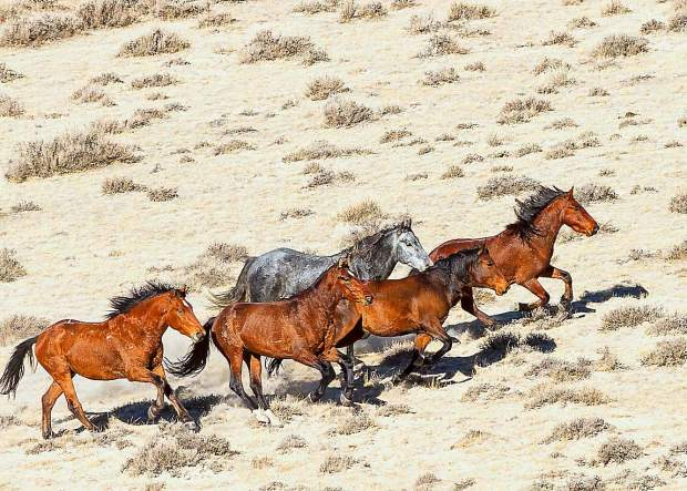 During the two weeks of the gather, 754 horses were gathered from the four Horse Management Areas (HMA) that make up the North Lander Complex. The 346 horses that were returned to their home ranges included 143 mares that had been treated with PZP-22 fertility control.