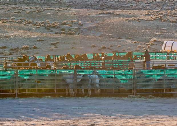 The captured horses are transported to a nearby holding pen. A minimum number of people work with the horses to lower the stress level and the snow fencing also helps to calm the horses. Most of these horses will be released back into their home ranges.