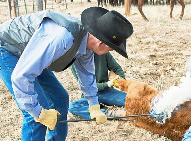 Bob Norris puts his brand one of his calves with his historic, one-iron T-Cross brand. When Norris went looking for a brand in 1950, he was able to pay the delinquent fees of $250 and assume ownership of the first brand registered in Colorado.