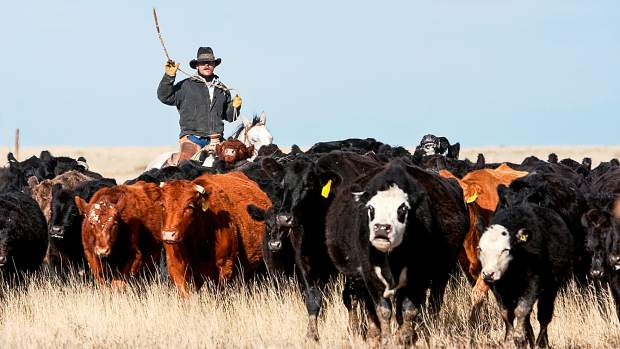 Every time an animal travels more than seventy-five miles within Colorado or out of state, the Brand Inspectors are called in to look at the animal and determine ownership. In 2013, Brand Inspectors logged about 1.1 million miles and looked at 4.3 million head of livestock.