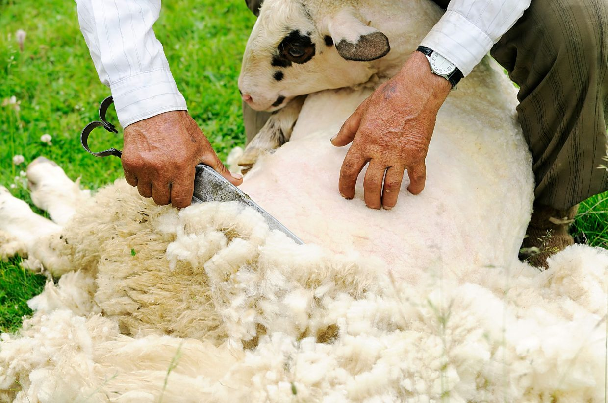 Sheep Shearing School To Be Held At Morgan County Fairgrounds In Brush Colo Thefencepost Com
