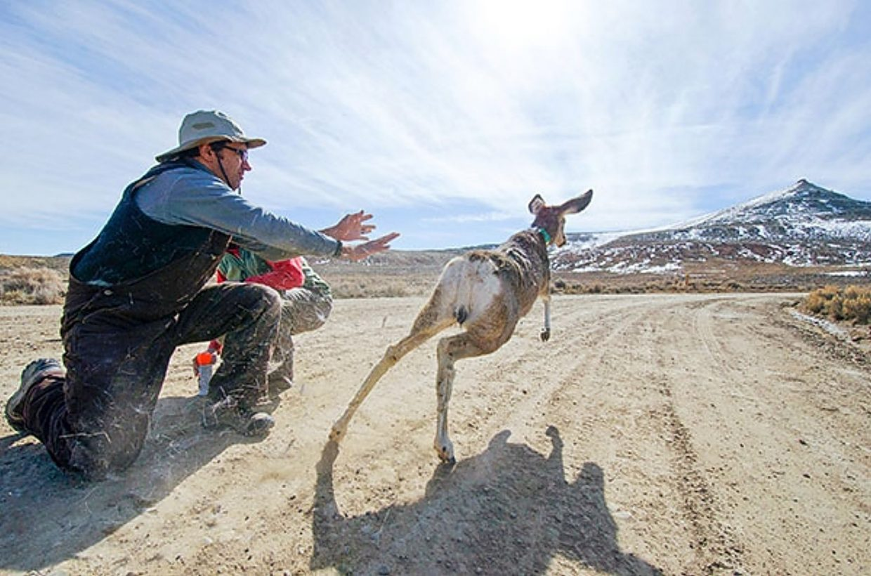 Matt Kauffman, director of WMI, releases a mule deer fitted with a GPS collar.