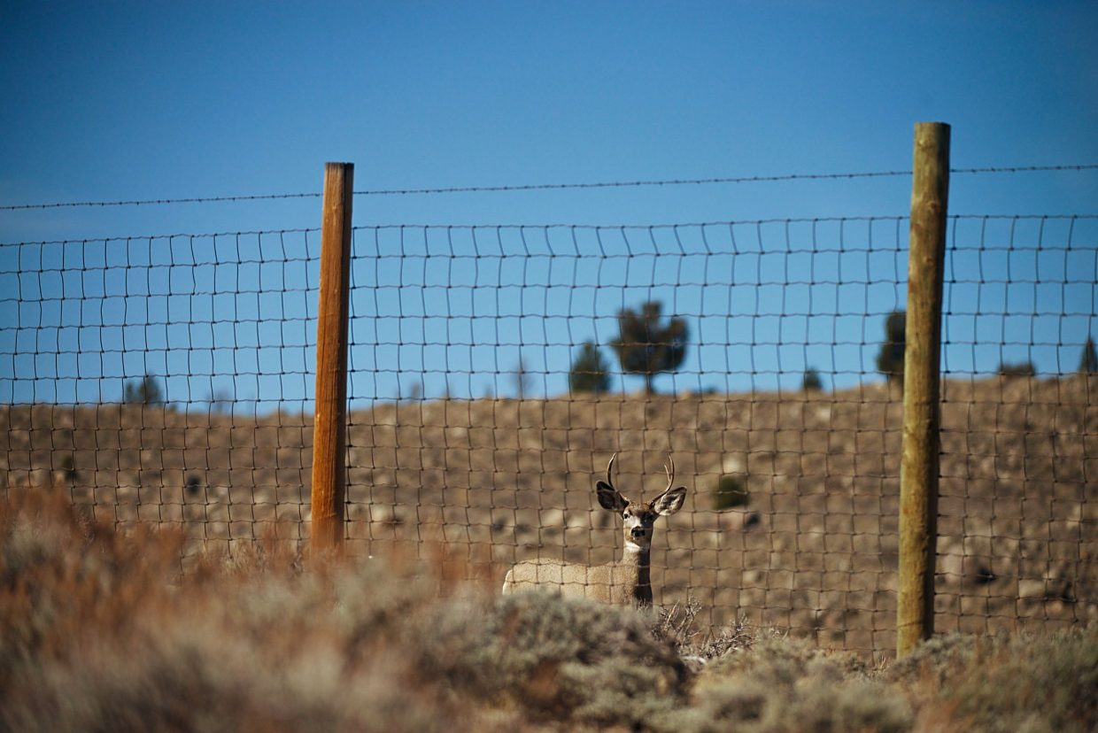 A mule deer buck looks for a way through a fence on the Red Desert to Hoback Migration Corridor. The Red Desert to Hoback Partnership, RD2H, is actively working with landowners to retrofit fences to be wildlife friendly.
