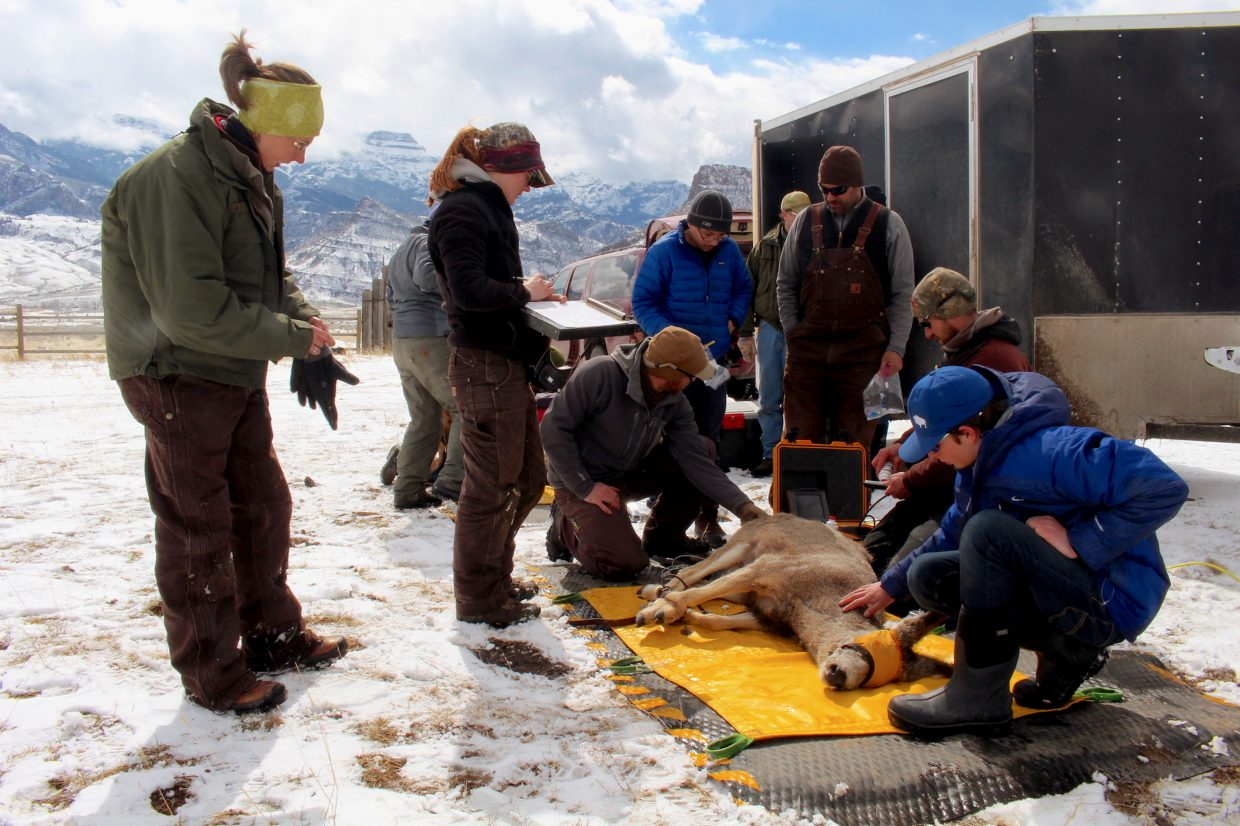 WMI biologists check the vitals on a mule deer during the 2016 Eastern Greater Yellowstone Mule Deer project to track the migrations of 90 mule deer across five herds.