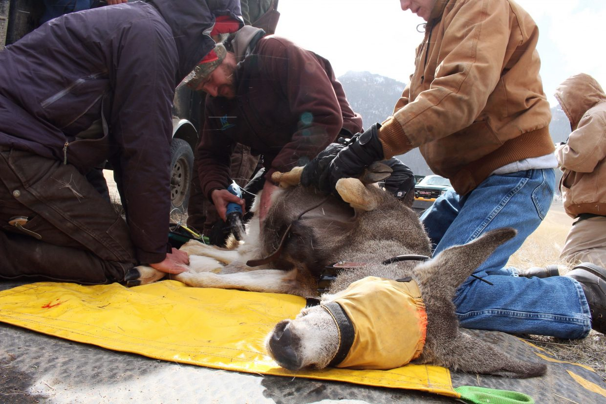 WMI biologists shave a deer in preparation for ultrasound, which tests body fat levels and checks for pregnancy.